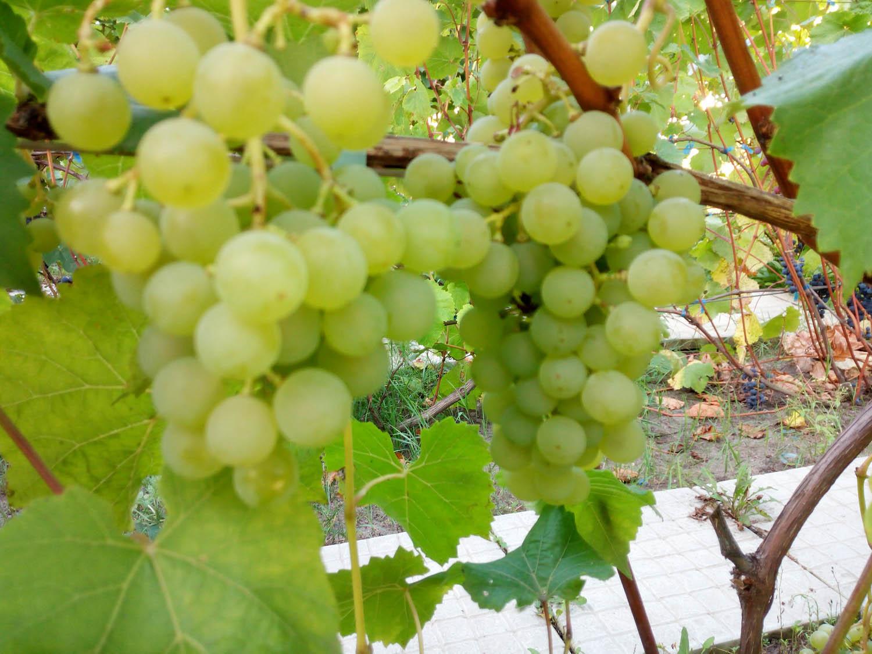 фото винограда арктик садоводы