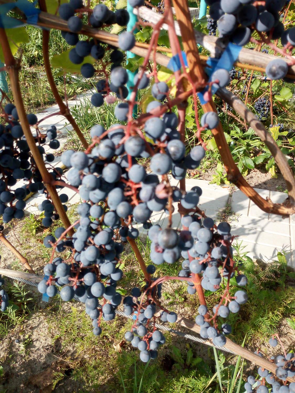 купить лист винограда для долмы